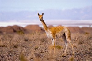 Vicuna_Vicgna_Vicugna_A_Camelid_From_South_America_400