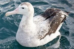 Wandering_Albatross_Swimming_400