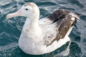 Wandering_Albatross_Swimming_600