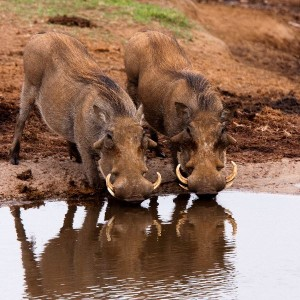 Warthogs_Drinking_In_Addo_National_Park_South_Africa_600
