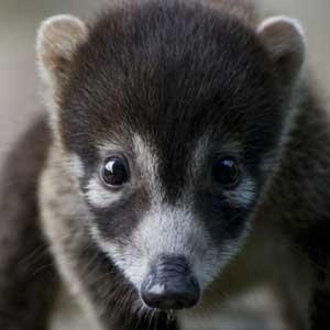 White-Nosed Coati Cub