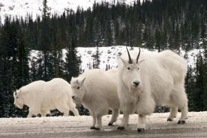 Mountain Goat Information