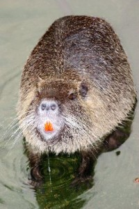 Wild_Nutria_Close_Up_400
