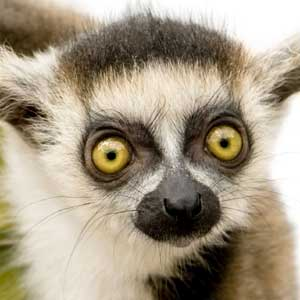 Young Crowned Sifaka