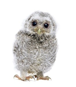 Young Little Owl Facts