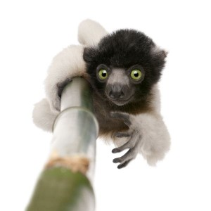Young Crowned Sifaka Facts