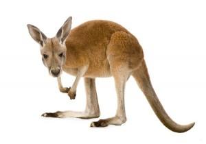 Red Kangaroo Joey Facts