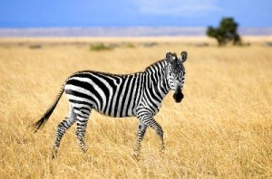 Young_Zebra_400