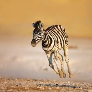 Zebra Colt Facts