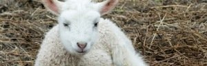 one lamb laying on hay