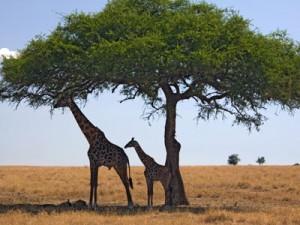 savanna_biome_400