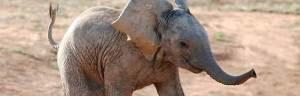 African_elephant_baby