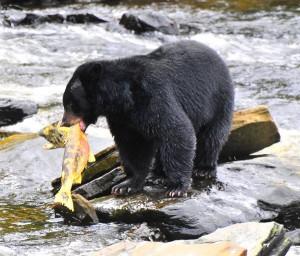 American Black Bear Facts