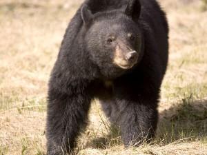 American Black Bear in National Park - Bear