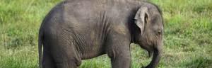 Asian_Elephant_baby