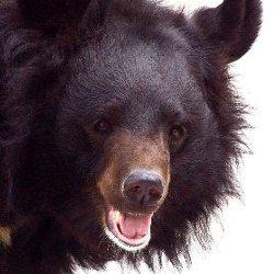 Bear Conservation Efforts
