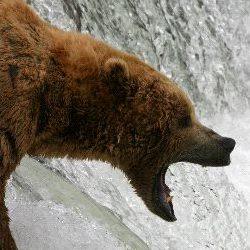 Bear Predators