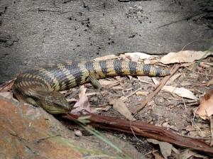 Blue-Tongued Lizard - Genus Tiliqua