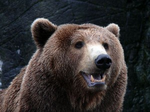 Brown_Bear_in_Copenhagen_Zoo_600