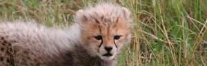 Cheetah_baby