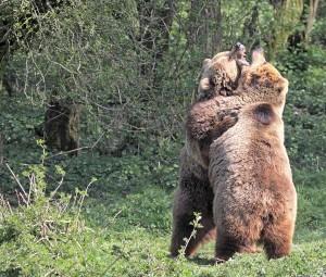 European Brown Bears Fighting - Bear Predators