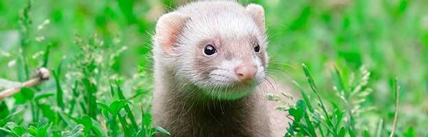 European Polecat Kit