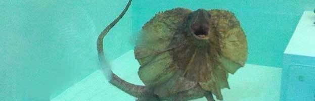 Frill-Necked Lizard (Frilled Lizard)
