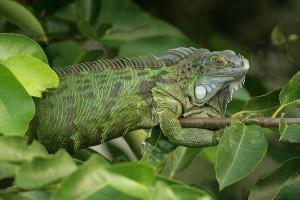 Green Iguana Information
