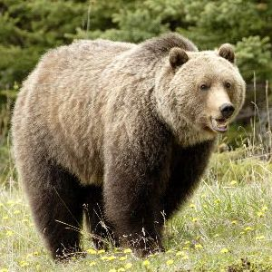 Grizzly Bear Facts