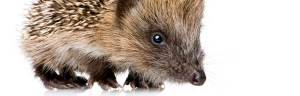 Hedgehog_baby
