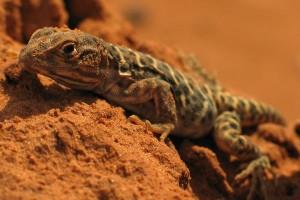 Leopard Lizard Facts