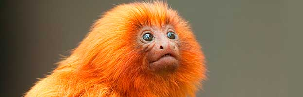 Golden Lion Tamarin Infant