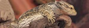 Lizard_evolution