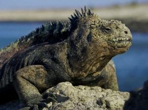 Galapagos Marine Iguana Facts