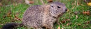 Marmot_baby