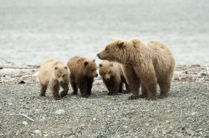 Mother Grizzly Bear With Cub Triplets - Bear Social Structure