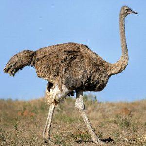 Ostrich Anatomy