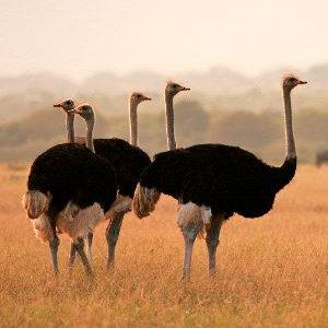 Ostrich Habitat and Distribution