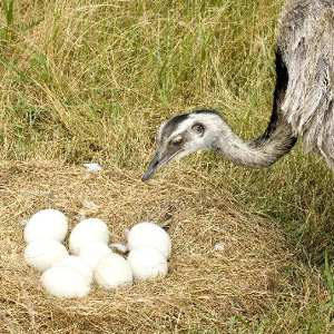 Ostrich Reproduction