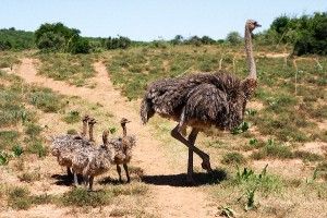 Ostrich Distribution Facts