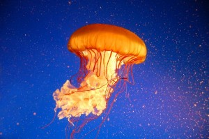 Pacific Sea Nettle Facts