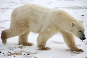 Polar_Bear_Walking_600