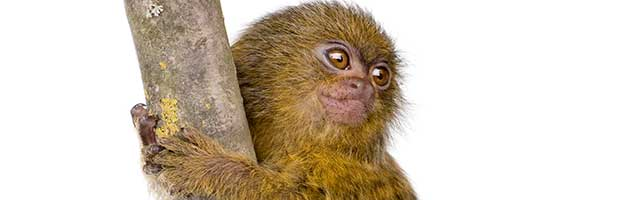 Pygmy Marmoset Infant