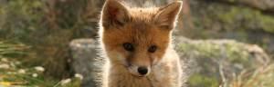 Red_Fox_baby