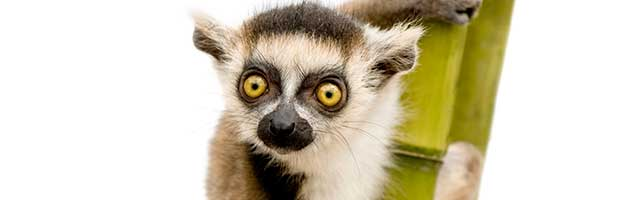 Ring-Tailed Lemur Infant