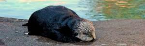 Sea_Otter_baby