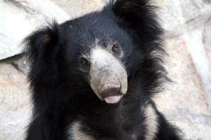 Sloth Bear Information