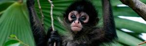 Spider_Monkey_baby