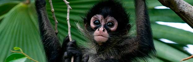 Spider Monkey Infant