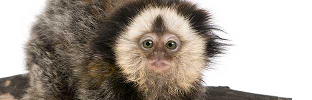 White-Headed Marmoset Infant